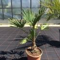 Trachycarpus wagnerianus, ca. 20 cm Stamm