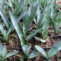 Agave tequilana, 14er Topf