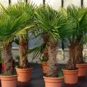 Trachycarpus wagnerianus, ca. 100 cm Stamm