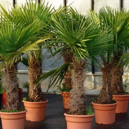 Trachycarpus wagnerianus, ca. 90- 100 cm Stamm