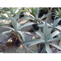 Agave scabra aka asperrima ssp.
