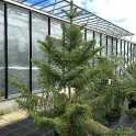 Araucaria araucana- chilenische Schmucktanne