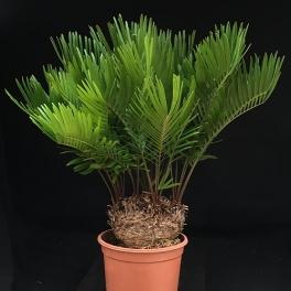 Zamia floridana ca. 13 cm Stamm, mehrstämmig