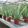 "Aloe vera ""Barbadensis Miller"""