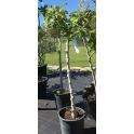 Feigenbaum, Ficus carica