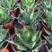Agave montana, winterhart, Kübel 40 Liter