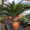 Cycas revoluta ca. 20 cm Stamm