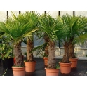 Trachycarpus fortunei, ca. 70-80 cm Stamm