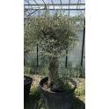 Olivenbaum, Olea europaea Stammumfang 60-90 cm
