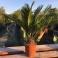 Cycas revoluta ca. 5-10 cm Stamm