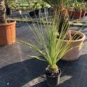 Dasylirion serratifolium 70 cm
