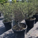 Olivenbaum, Olea europaea (Ob-23)
