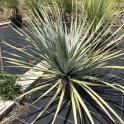 Dasylirion texanum, Mexico