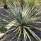 Dasylirion texanum, Mexico, 120 cm