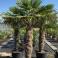 Trachycarpus fortunei, ca. 120 cm Stamm