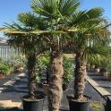 Trachycarpus fortunei, ca. 130 cm Stamm