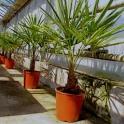 Trachycarpus fortunei, ca. 20 cm Stamm