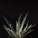 Agave filifera, Topf 9 x 9 cm