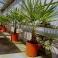 Trachycarpus fortunei, ca. 30 cm Stamm