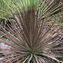 Agave stricta f. rubra, Breite ca. 40 cm, Höhe ca. 40 cm