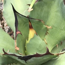 Agave titanota, 15 cm Breite