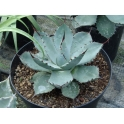 Agave parryii