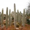 Ferocactus horridus kurze Bedornung