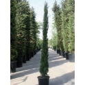 "Cypressus sempervirens ""totem"""